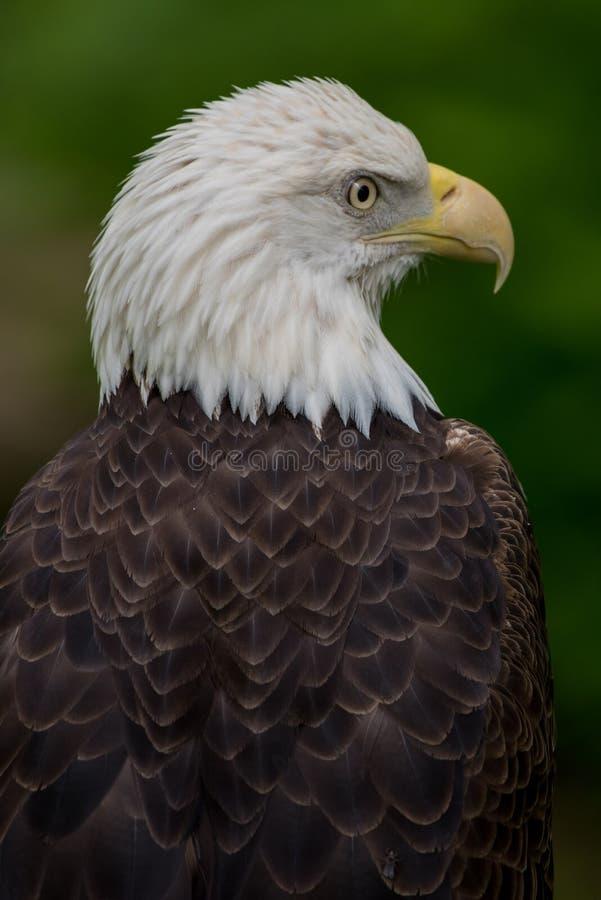 Eagle Looking Right Portrait calvo fotografie stock libere da diritti