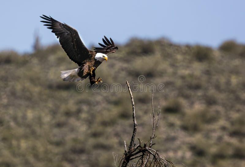 Eagle Lower Salt River calvo fotos de stock royalty free