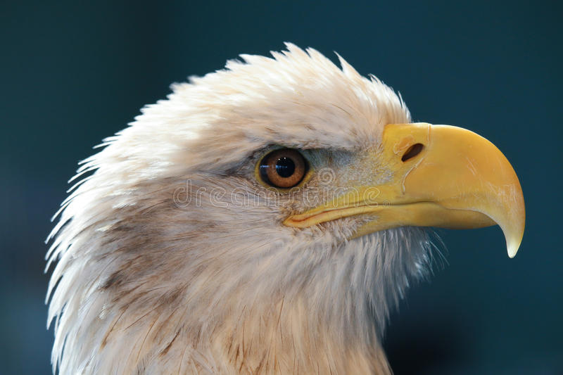 Eagle majestueux photos stock