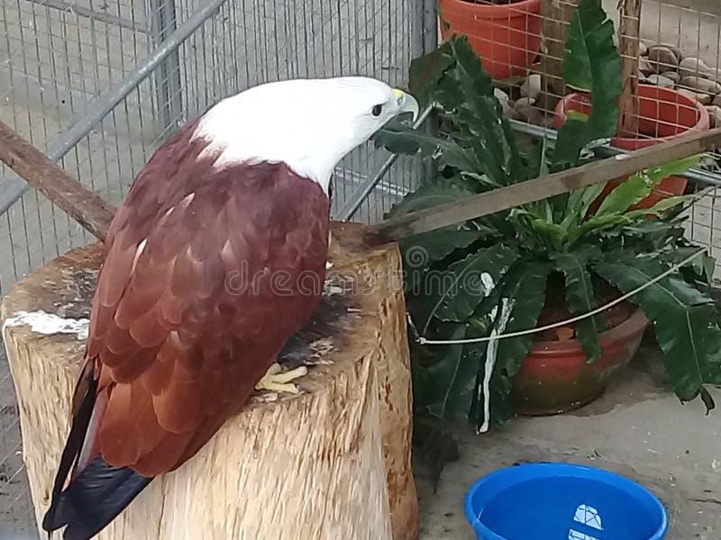 Eagle majestueux et frais photo libre de droits