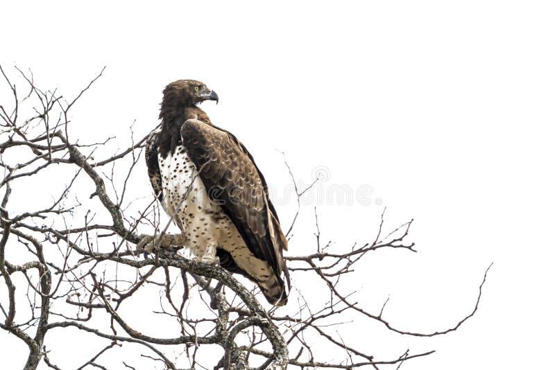 Eagle marziale nel parco nazionale di Kruger, Sudafrica immagine stock libera da diritti