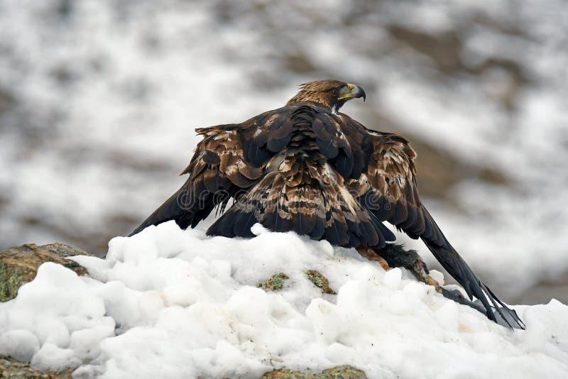 Eagle med ett rov i vinter royaltyfri foto