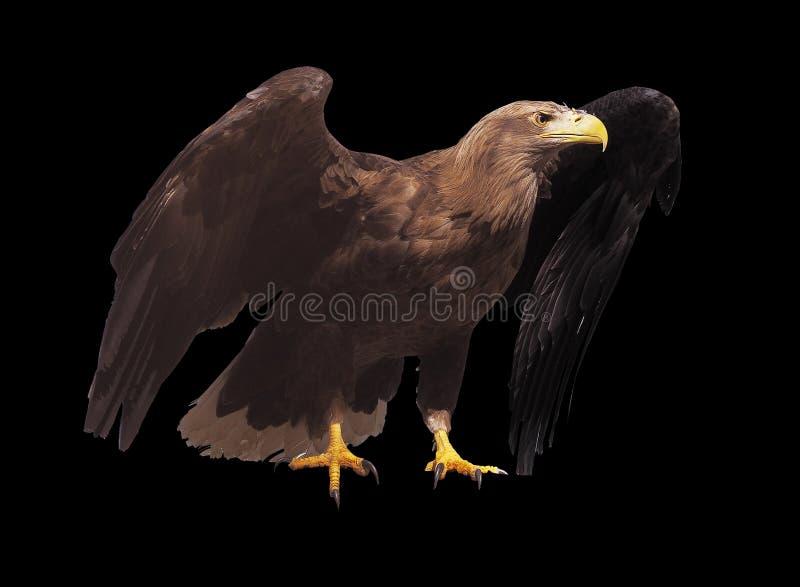 Eagle met geopende vleugels geïsoleerd royalty-vrije stock foto