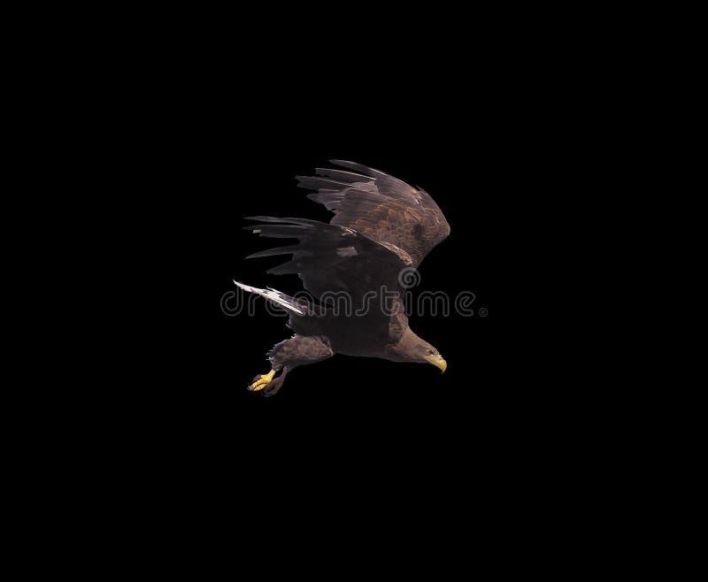 Eagle met geopende vleugels geïsoleerd royalty-vrije stock foto's