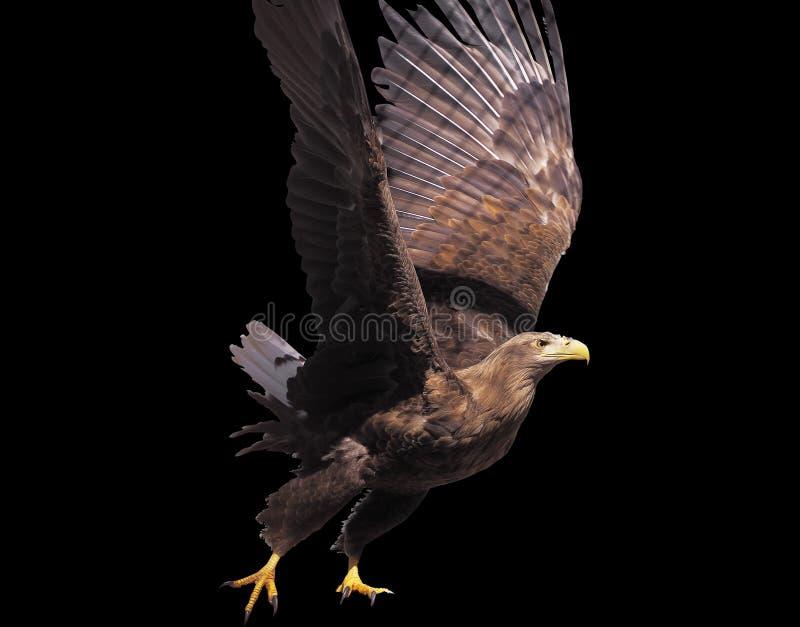 Eagle met geopende vleugels geïsoleerd stock afbeelding