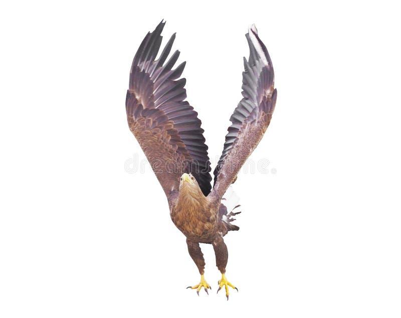 Eagle met geopende vleugels geïsoleerd stock afbeeldingen