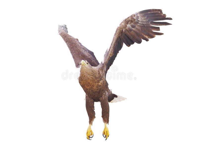 Eagle met geopende vleugels geïsoleerd stock fotografie