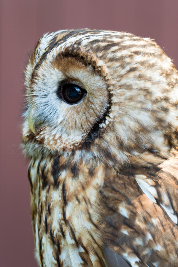 Eagle met grote ogen stock foto's