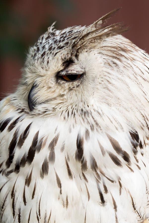 Eagle mit großen Augen lizenzfreie stockfotografie
