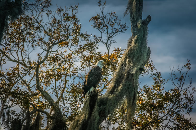 Eagle in Moss Covered Tree royalty-vrije stock fotografie