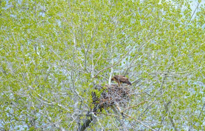 Eagle Mother Feeding Baby Eaglets dorato in nido fotografie stock libere da diritti