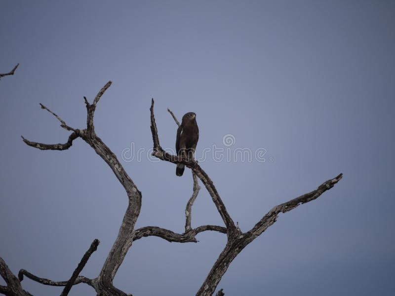 Eagle na drzewie w zambiach fotografia stock