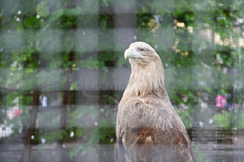 Eagle na gaiola no jardim zoológico fotos de stock