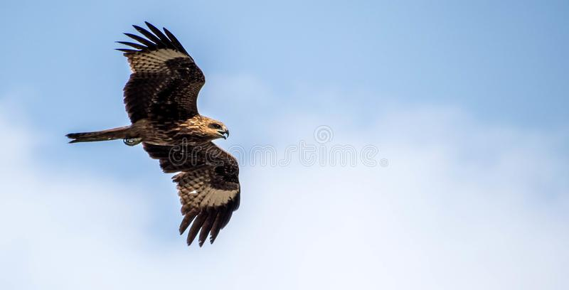 Eagle na polowaniu fotografia royalty free