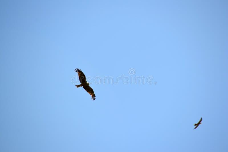 Eagle na polowaniu obrazy stock