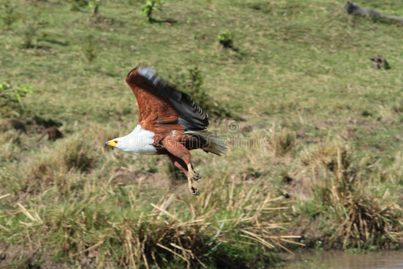Eagle nad Mara fotografia stock