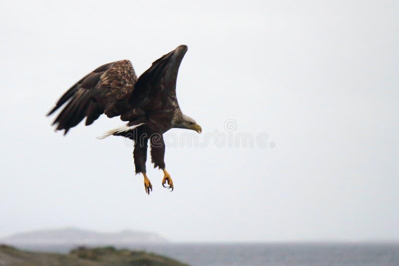 Eagle nella posizione brutta fotografie stock libere da diritti