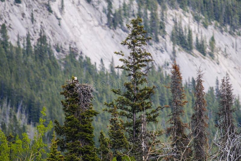 Eagle Nest calvo fotografia stock