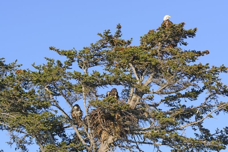 Eagle Nesting Tree calvo con la madre y dos novatos fotos de archivo libres de regalías