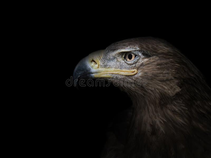 Eagle no close-up do perfil em um fundo preto fotografia de stock royalty free