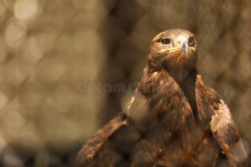 Eagle no jardim zoológico fotografia de stock royalty free