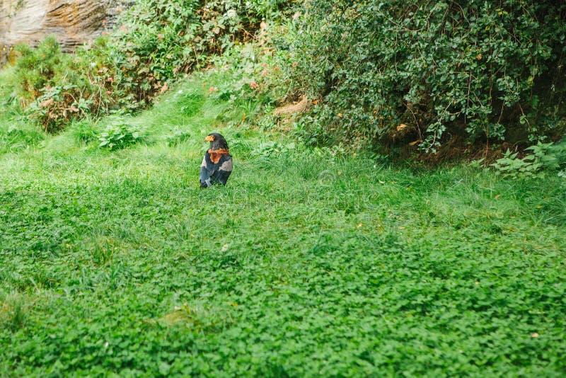 Eagle o halcón Plumoso o ave rapaz en hierba en al aire libre Pico amarillo y pájaro o depredador salvaje bajo protección de foto de archivo libre de regalías