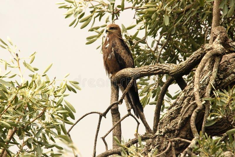 Eagle obsiadanie na gałąź obraz royalty free