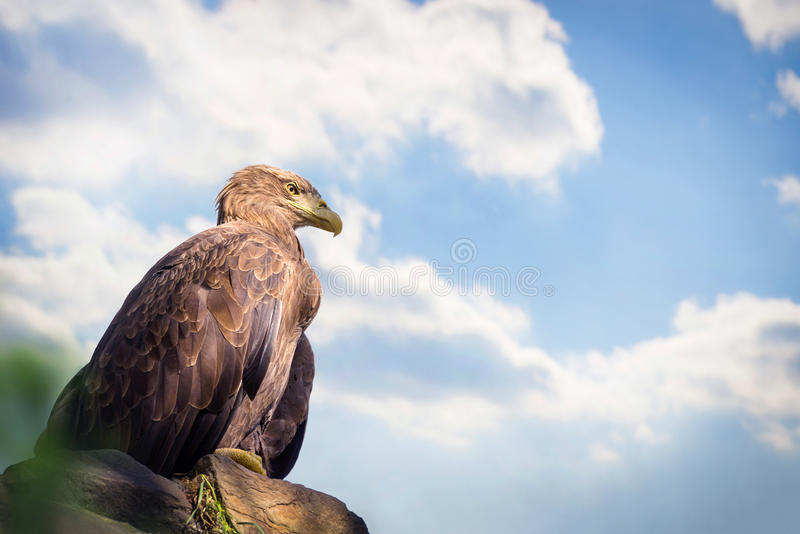 Eagle obsiadanie na skale obrazy stock