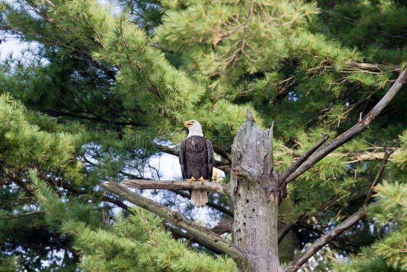 Eagle Ohio calvo immagini stock