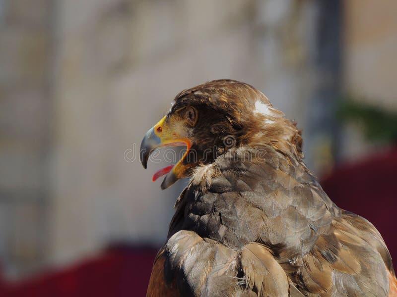 Eagle oiseau de chasseur de jour image stock