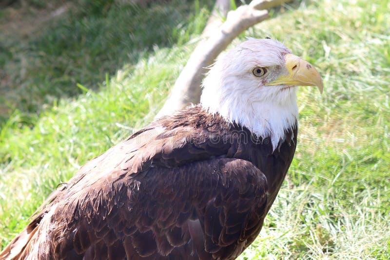 Eagle oko obrazy royalty free