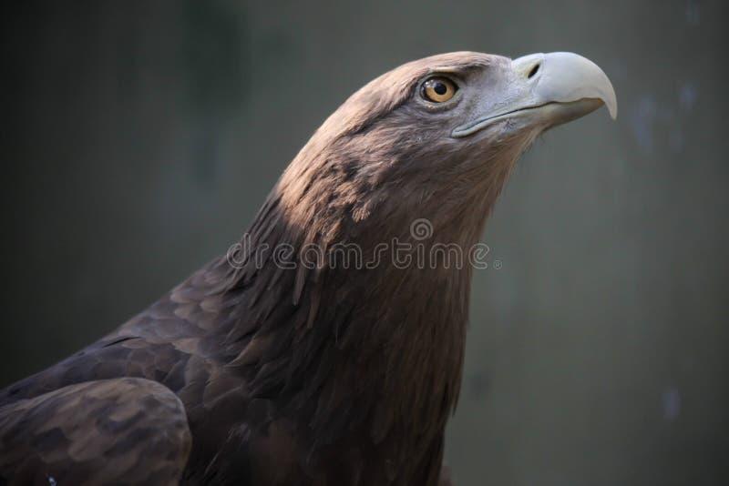 Eagle oko zdjęcia royalty free