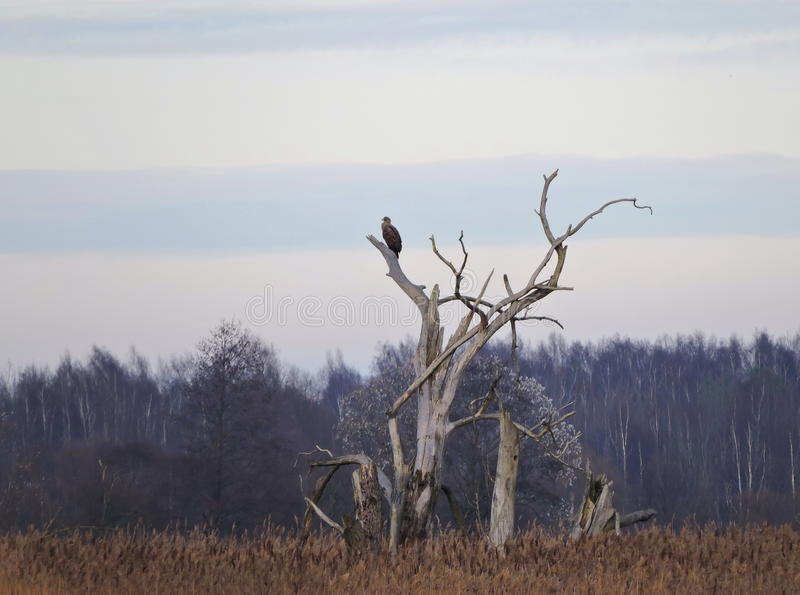 Eagle in oude boom royalty-vrije stock afbeeldingen