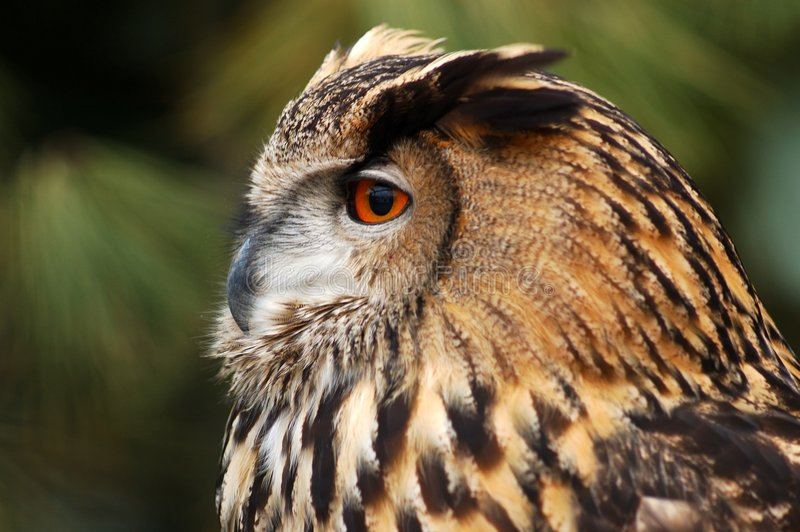 Download Eagle owl. stock image. Image of belgium, reserve, zwin - 108335