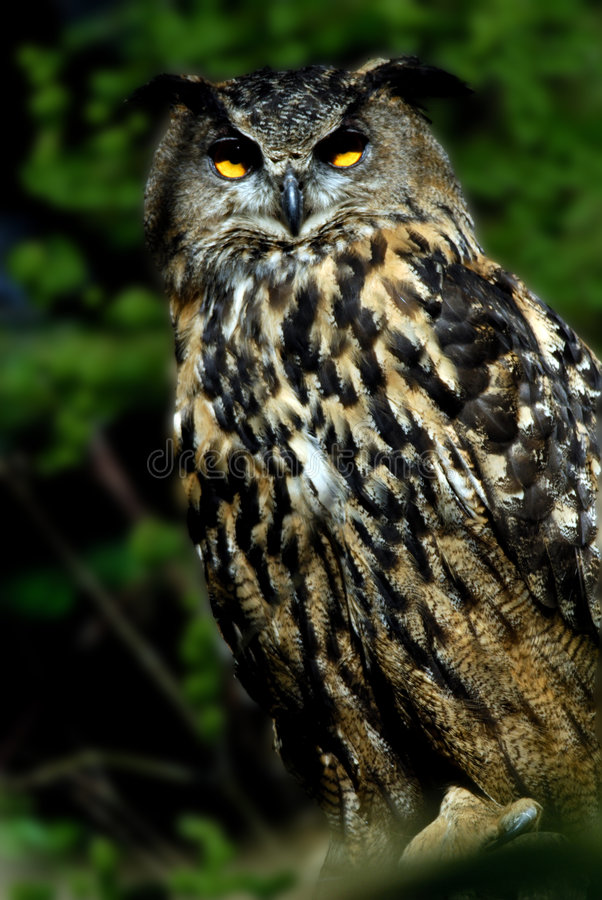 Free Eagle Owl Royalty Free Stock Photography - 1334877