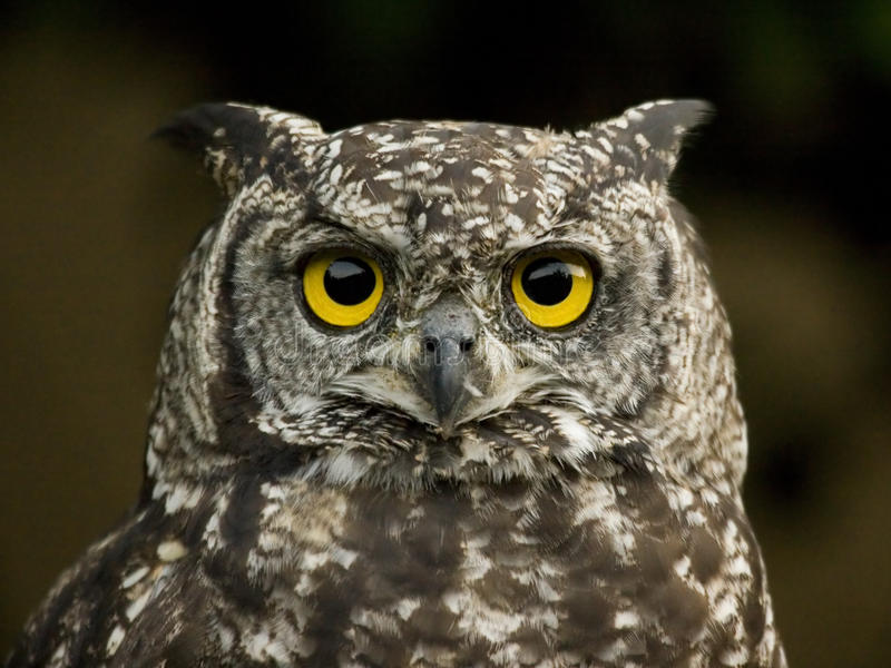 Download Eagle owl stock photo. Image of view, south, safari, outdoors - 15242386