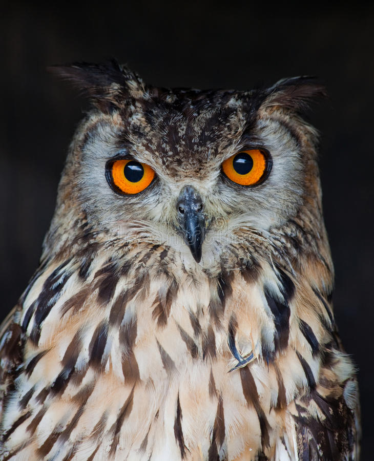 Eagle owl. Eurpean eagle owl ,the largest owl of them all