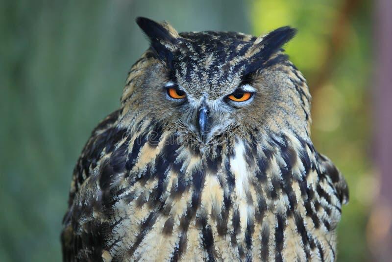 Download Eagle owl stock image. Image of animal, eagle, nature - 21642611