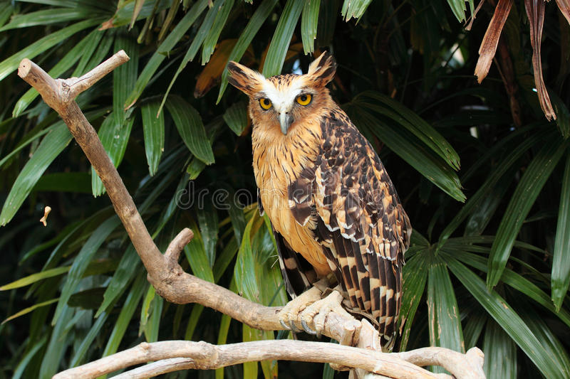 Eagle owl stock images