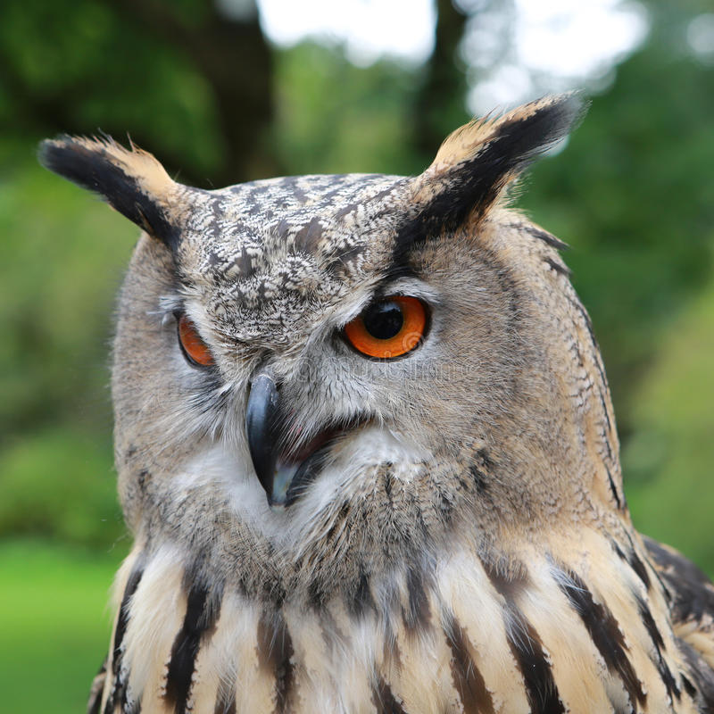 Eagle Owl. European Eagle Owl - the largest Owl of all stock images