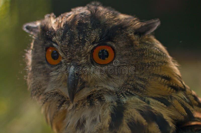 Download Eagle Owl Stock Image - Image: 26734881