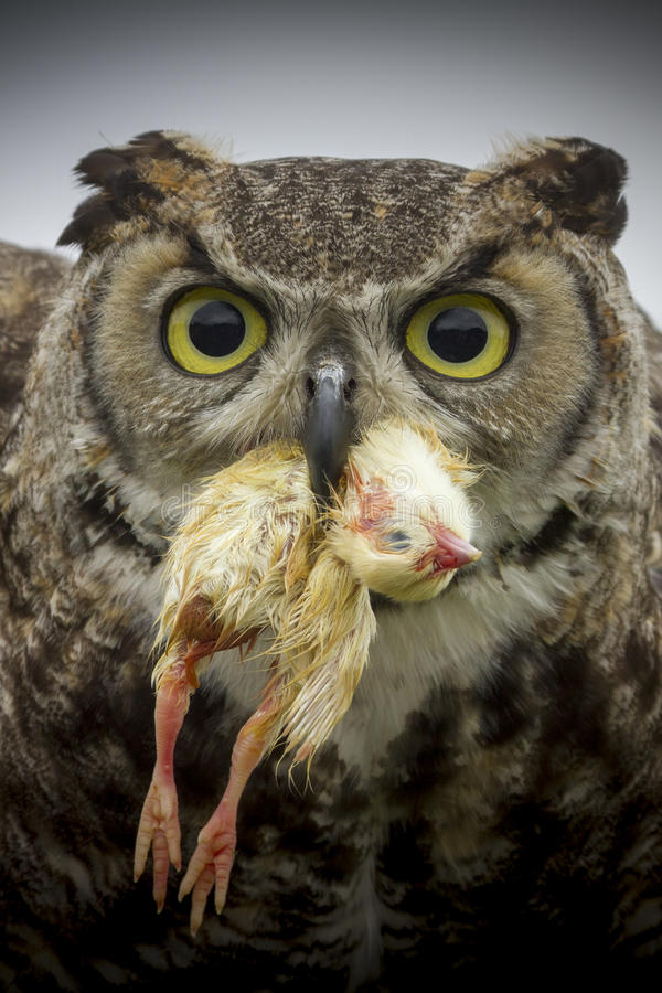 Free Eagle Owl Royalty Free Stock Photography - 27281867