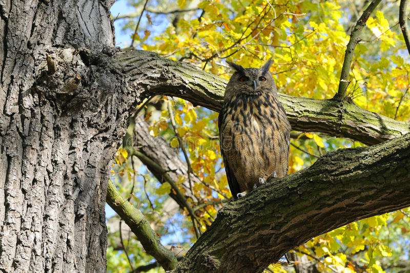 Download Eagle Owl stock image. Image of prey, animal, brown, nature - 27799923