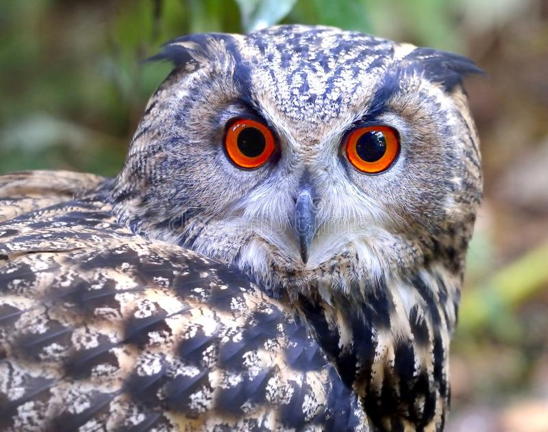 Download Eagle Owl stock image. Image of gaze, orange, nocturnal - 28432643