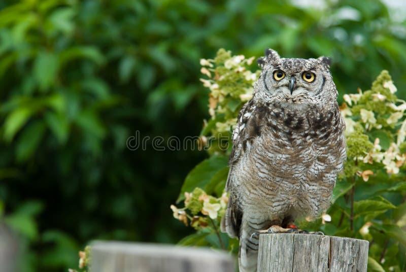 Download Eagle Owl stock photo. Image of alert, look, wildlife - 3197818