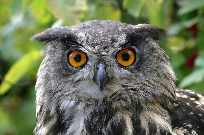 Download Eagle owl stock image. Image of alert, view, falconry - 3273131