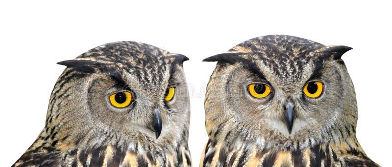 Eagle Owl fotos de stock