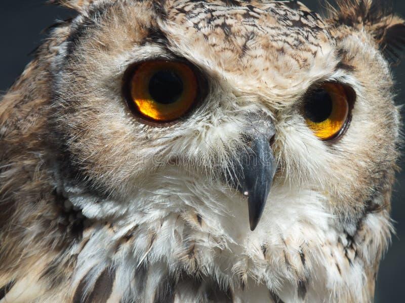 Eagle Owl 1 fotografía de archivo libre de regalías