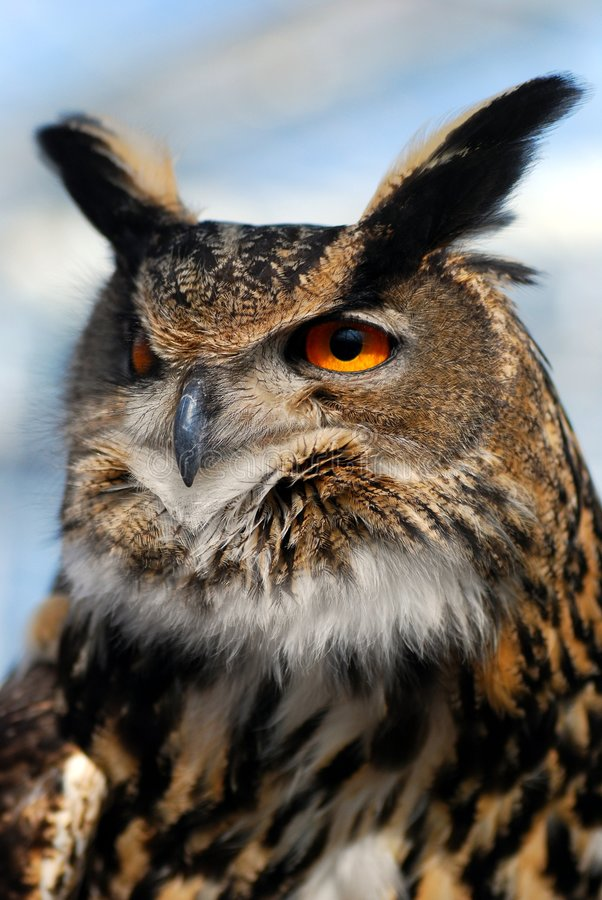 Eagle Owl. A gorgeous eagle owl with rich brown colored feathers. The bird has an expression of authority royalty free stock photos