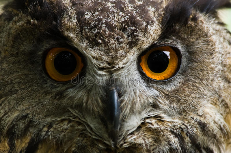 Eagle owl with big orange eyes stock photography